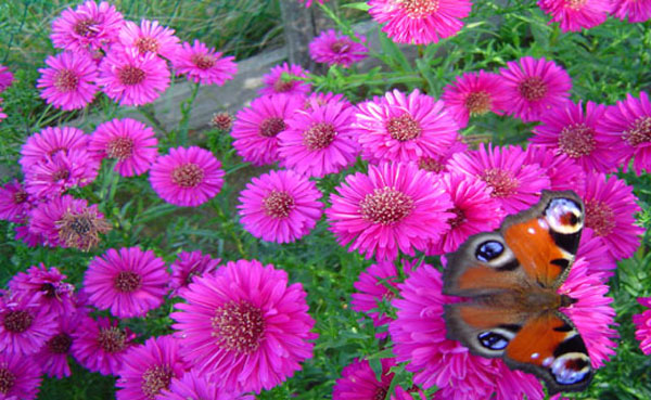 Asters - The Other Fall Flower