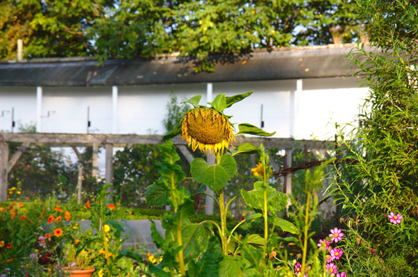 gardening planting sunflowers in a school environment Free essay: the name of my project is gardening which is planting sunflower i chose this project because my kindergarten's outdoor environment space is.