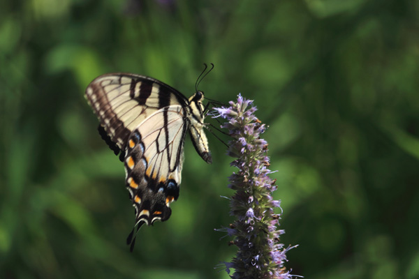 Butterfly Gardening - Tips & Plants