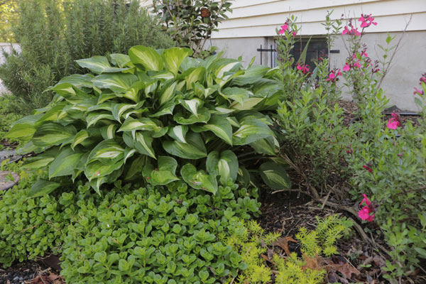 The Hearty Hosta