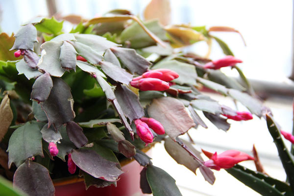 Holiday Gift Plants - Hooray or Oh, No!