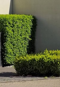 Hedges (cropped) Image by Michael Gaida from Pixabay
