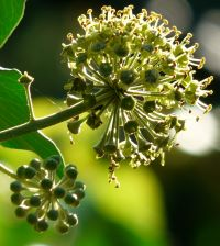 English Ivy can be invasive even when grown in a container, if allowed to flower and fruit