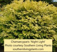 Chamaecyparis 'Night Light' is a small golden evergreen shrub that blends well with grasses and perennials